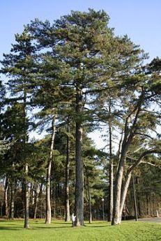 pinheiro laricio